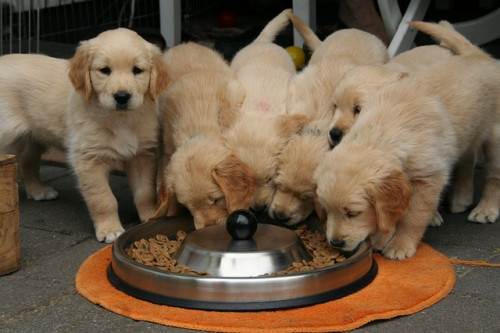 golden retriever puppy 2706672 640