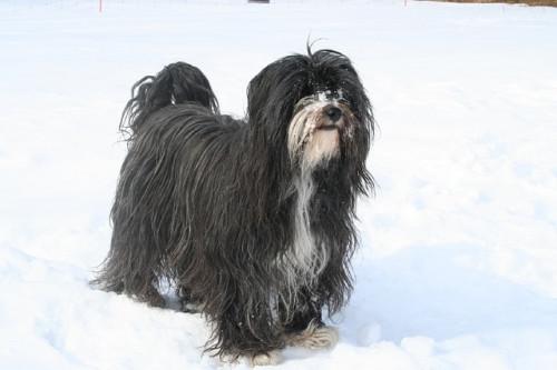 tibetan terrier 750765 640